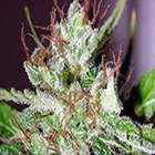 2507_eldorado-the-sativa-seedbank-piensa-en-verde
