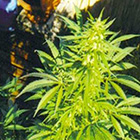 2536_Hawaii-Maui-Waui-the-sativa-seedbank-piensa-en-verde