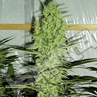 2544_new-york-power-diesel-the-sativa-seedbank-piensa-en-verde