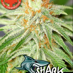 SHARK HAZE1 con cruz medicinal