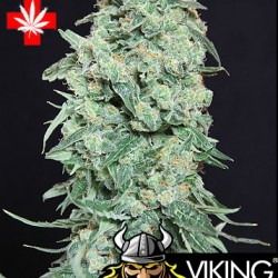VIKING HAZE con cruz medicinal