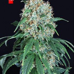 WHITE WIDOW  con cruz medicinal