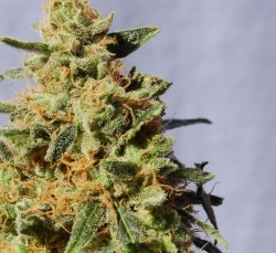 kannabia-white_domina_feminized-207